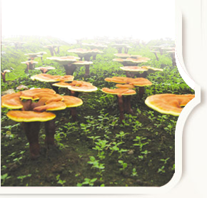 Ganoderma Plantation Ganoderma Farm